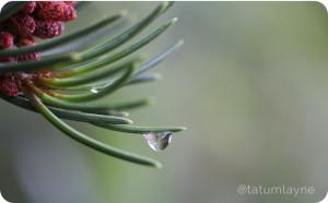 pinewaterdrop